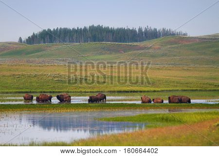 Herd of Bison Wandering in Wetlands of Yellowstone National Park