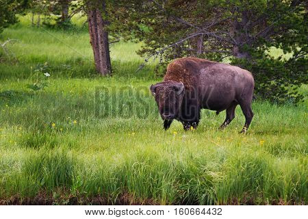 Single bison facing camera in Yellowstone National Park United States