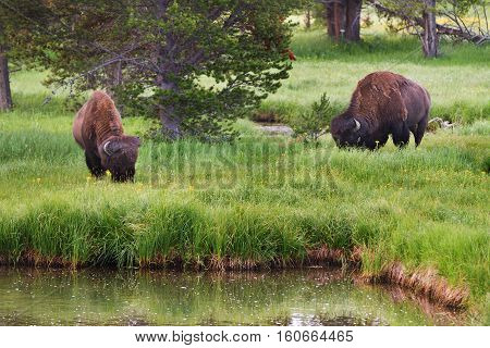 Bison grazing in the tall grass in Yellowstone Ntional Park United States