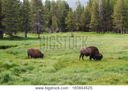 Two bison grazing in tall grass in Yellowstone National Park United States