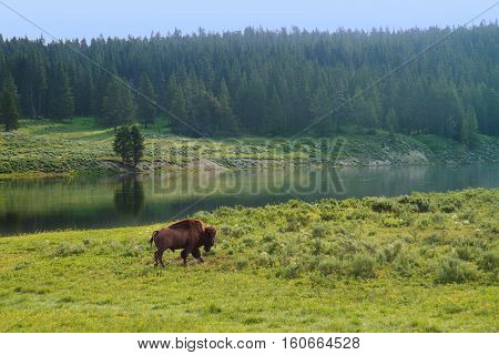 Bison Walking along River in Yellowstone National Park United States
