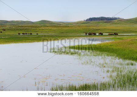 Herd of bison in wetlands in Yellowstone National Park