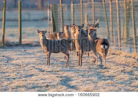 Herd Of Fallow Deer Doe Standing On Frozen Grass In Early Morning Light.