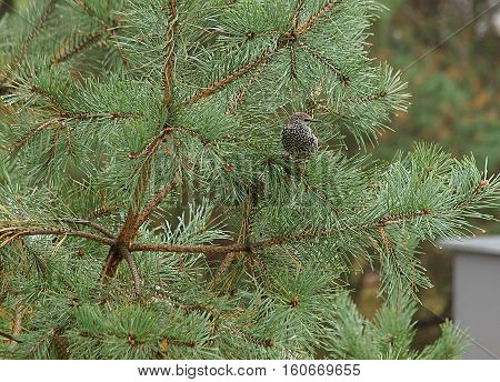 Starling between needles. Lodz, Poland - October 21, 2016 Young starling while feeding on spruce tree in Lodz.