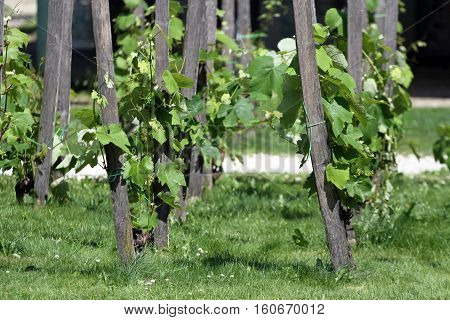 Sunny summer greeny vineyard as a background