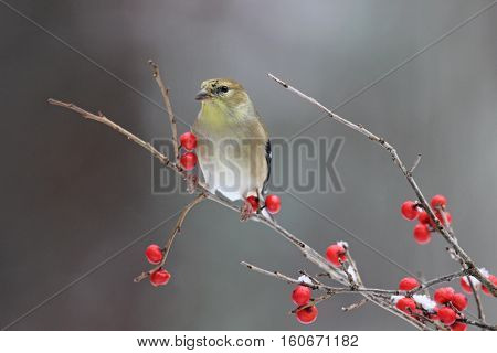 A goldfinch Carduelis tristis perching on red winter berries,