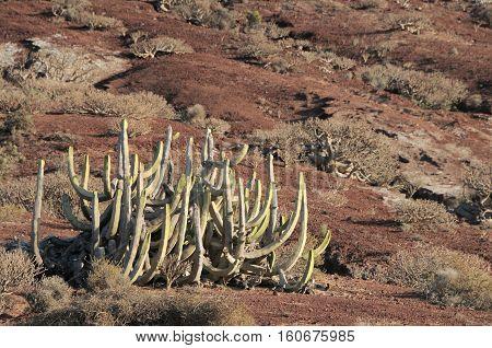 Cactus In The Desert