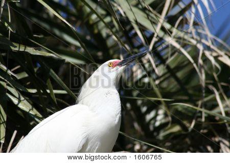 Egret Looking Up
