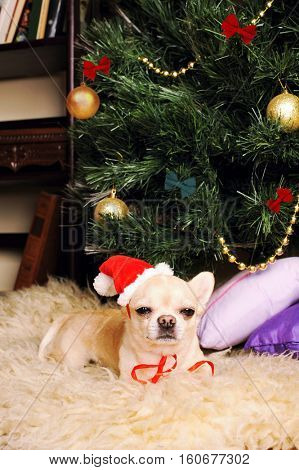 Cute chihuahua dog dressed in Santa hat asleep under the christmas tree, new year card