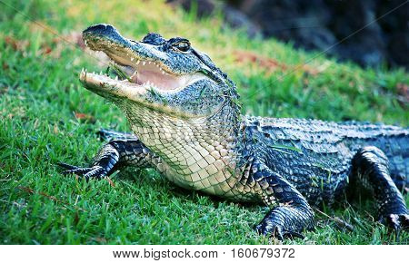 A wildlife shot of an American alligator. Dec 2016