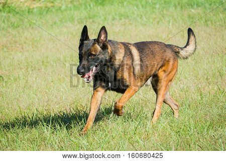 Belgian Malinois police dog running in a field