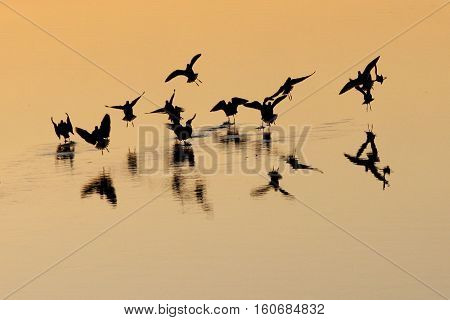 A feeding frenzy at sunset gives sandpipers a choreograph of silhouettes.
