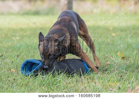 Belgian malinois chewing on a bite sleeve