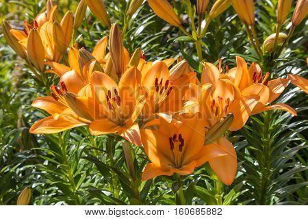 closeup of orange lillies growing in garden