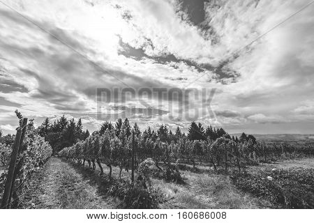 Grapes growing in a vineyard on a partly cloudy summer day. Black and white photo.