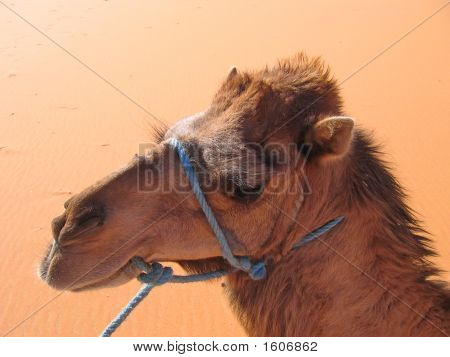 Camel portrait - Erg Chebbi - Merzouga - Morocco. poster