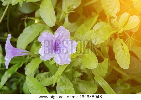 Popping pod flower Purple bloom (Scientific name Watrakanu Minnie root Feverroot Cracker plant Trai-no Toi ting) with sunset light tone.