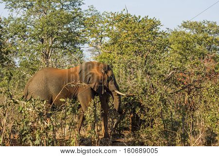 african bush elephant full of dust standing in the bush in Kruger Park, South Africa