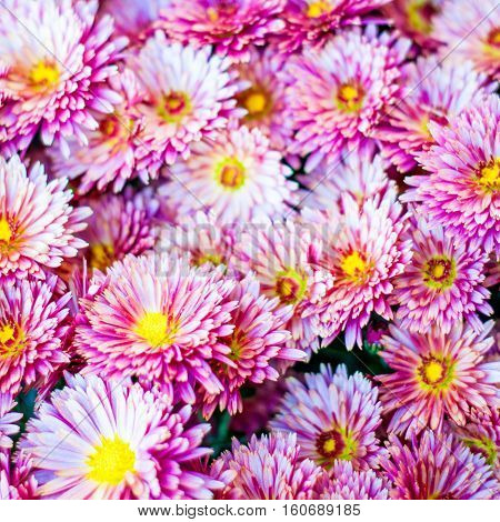 Colorful autumnal chrysanthemum background. Pink flowers bouquet.