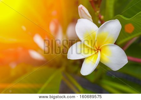 Desert Rose Tropical flower on a tree or Impala Lily flower. beautiful White adenium in the garden. : select focus Desert Rose Tropical flower with shallow depth of field and soft-focus background :