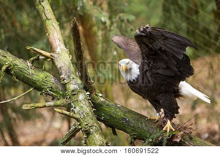 A Bald Eagle with wings open looking straight into the camera