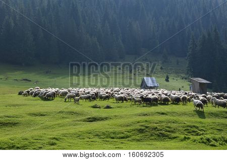 Sheep on meadow.Landscape with forests. Nature in Europe. Sunset scenic. Green meadows. Apuseni Mountains in Romania. Natural background.