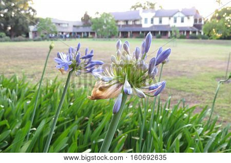 Purple agapanthus flower about to bloom open in stately old heritage home garden estate