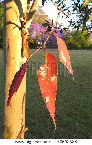 Sunlight through red gum eucalyptus tree leaves with jacaranda tree in background