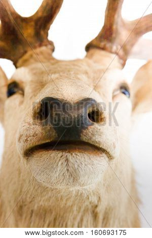 Closeup of an elk or deer Muzzle and nose head is blurred from the upper horn side