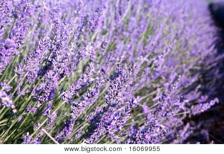 Bunch of scented flowers in the lavender fields of the French Provence near Valensole