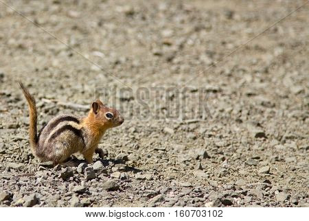 Side shot of a squirrel (Chipmunk) with it's tail up. Shot at the Crater Lake National Park Oregon, US.