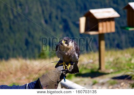 A falcon sitting on a handler's hand at the Grouse Mountain in Vancouver, Canada. A bird house is in the background in soft-focus.