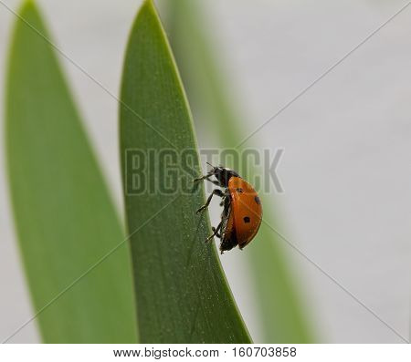 Close up of a Ladybird (Ladybug) walking on a long green leaf