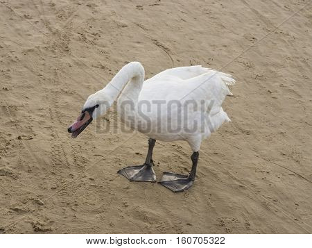 Young Mute swan Cygnus olor with pale red beak standing on sand beach in attack position close-up portrait selective focus shallow DOF