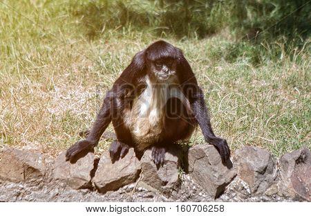 Geoffroy's Spider Monkey (Ateles geoffroyi)-Spider Monkey animal