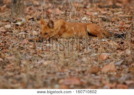 Indian Wild Dog Pose Image & Photo (Free Trial) | Bigstock