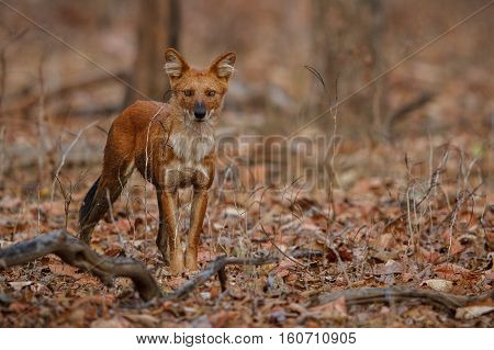 Indian wild dog pose in the nature habitat, very rare animal, dhoul, dhole, red wolf, red devil, indian wildlife, dog family, nature beauty, cuon alpinus