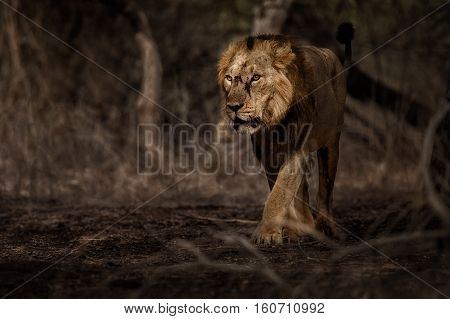 Asiatic lion male in the nature habitat in Gir national park in India, beautiful and very rare