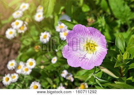 Pink Oenothera fruticosa. Pink Evening primrose flower