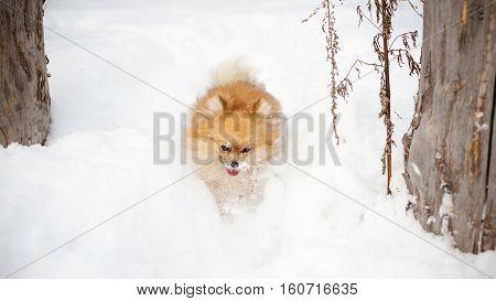 Spitz Breed Dog Running In The Snow Snowbank