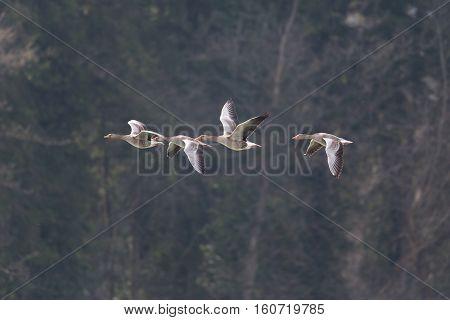 Several grey gooses (anser anser) flying in natural environment