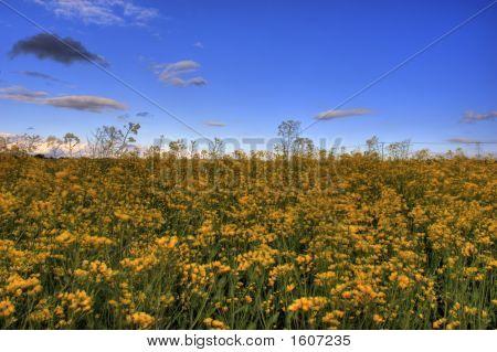 Rape Field With Sky