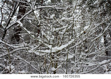 On the black branches of the tree lies a thick layer of snow (lots). The photo was taken in winter. The background is blurred.