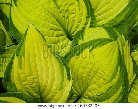 Hostas are herbaceous perennial plants growing from rhizomes or stolons with broad lanceolate or ovate leaves. They are shade tolerant and also known as plantain lilies.