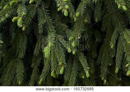 Fir tree branch with young needles. Photo