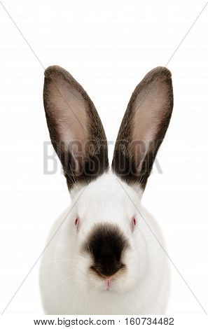 Portrait of a white albino rabbit, closeup, isolated on white background