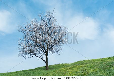 Lonely apricot tree at flowering time .