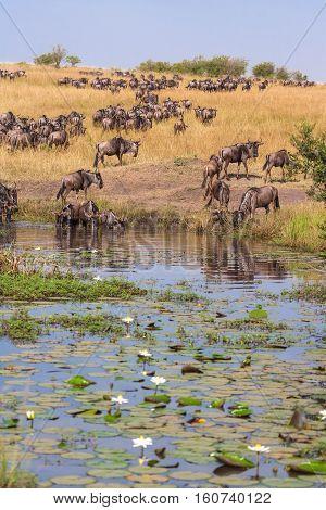 Wildebeest at Watering. Watering with water lilies. Masai Mara, Kenya