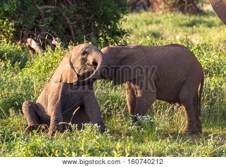 Young elephants play. Small baby. Amboseli, Kenya