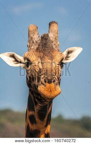 Giraffe portrait. Giraffe closeup. Masai Mara. Kenya.